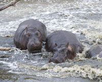Closeup of two hippos partially submerged in water. In the Serengeti National Park, Tanzania Royalty Free Stock Photos