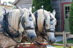 Closeup of two horses ready to pull a trolley Stock Image
