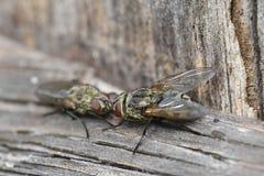 Flies Stock Images