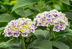 Closeup of two Hydrangea flower heads Royalty Free Stock Photos