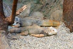 Closeup of Two Iguanas. Royalty Free Stock Photo
