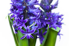 Hyacinths. Closeup of two isolated blue hyacinths Royalty Free Stock Photo