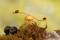 Closeup two ladybugs swinging on the branch on the mushroom Royalty Free Stock Photo