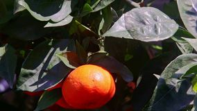 Closeup Two Large Mandarins in Green Tree Leaves. Closeup macro two large mandarins among dark green leaves in tree before Vietnamese new year TET at bright