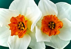 Pair of daffodils Stock Photos