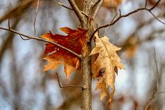 Closeup of two oak leaves hanging from a tree branch in the woods in the afternoon sunlight. This is at the end of Autumn as the weather begins to turn to Royalty Free Stock Photos