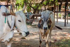 Closeup of two oxen that are harnessed to an oxcart Stock Photos