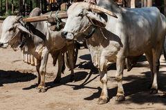 Closeup of two oxen that are harnessed to an oxcart Royalty Free Stock Photography