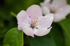 Closeup of two quince flowers Royalty Free Stock Photo