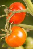 Closeup on two ripe organic tomatoes on the vine. Stock Photos