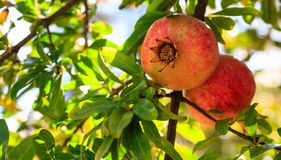 Ripe pomegranates on the tree branch Stock Photography