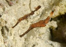 Closeup of two Robust ghost pipefish swimming over corals of Bali royalty free stock photo