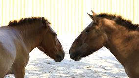 Two Brown Horses Look at Each Other Romantically in a Zoo. A Closeup of Two Romantic Small Brown Horses Which Look at Each Other as if They Are in Love in a Zoo stock footage
