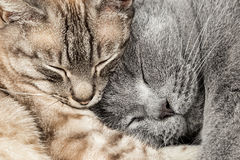 Closeup of two sleeping cats Stock Photography
