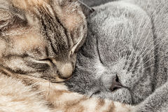 Closeup of two sleeping cats Stock Image