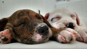 Closeup of Two Sleeping Puppies stock photo
