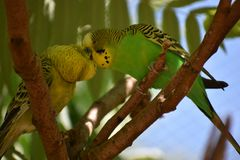 Closeup of two small green kissing budgies sitting on a tree branch stock photo