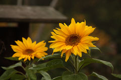 Closeup of two sunflowers. Two sunflowers on dark blurry background Royalty Free Stock Image