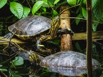Closeup of two trachemys scripta yellow slider turtles at water stock photos