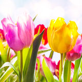 Closeup of two vibrant fresh tulips outdoors Royalty Free Stock Image