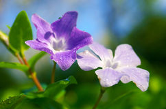 Drops on Violets Royalty Free Stock Image