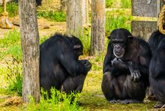 Closeup of two western chimpanzees sitting against a tree trunk, critically endangered primate specie from Africa. A closeup of two western chimpanzees sitting royalty free stock photos