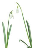 Two Isolated Snowdrops Royalty Free Stock Photos