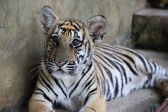 Closeup of a two year old Siberian Tiger Cub Royalty Free Stock Photography