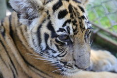 Closeup of a two year old Siberian Tiger Cub Royalty Free Stock Images