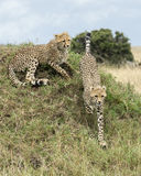 Closeup of two young cheetah top of a grass covered mound, one lying and one running down. In the Masai Mara National Reserve, Kenya Royalty Free Stock Images