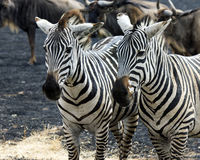 Closeup of two Zebra heads with wildebeest in the bacground Stock Image
