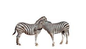 Closeup Two Zebras on White Background Stock Photo