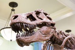 Closeup of tyrannosaurus head. Stock Photography