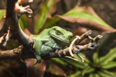 Closeup of an Ugly Frog Royalty Free Stock Photos