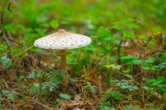 Closeup umbrella mushroom Royalty Free Stock Photography