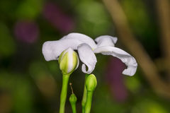 Closeup of an unbloomed white color flower buds in its colorful Stock Photo