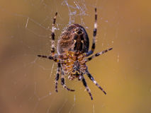 Closeup of the Underbody of a Garden Spider in a Web with Blurry Legs and Web Stock Photos