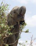 Closeup underifrån av ungt äta för elefant Arkivbilder