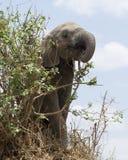 Closeup underifrån av ungt äta för elefant Royaltyfri Bild