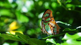 Closeup of underside of Malachite butterfly Royalty Free Stock Photos
