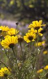 Closeup of underside Wild Yellow Daisy flowers on backliht. Boke. H uncultivated meadow on background Royalty Free Stock Photos