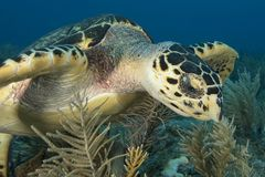 Underwater image of sea turtle face Royalty Free Stock Photography