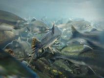 Closeup underwater view of sockeye salmon school spawning Stock Image