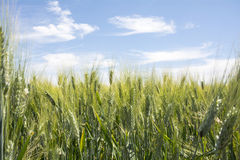 Closeup unripe wheat ears. Blue Sky in the background Royalty Free Stock Photos
