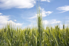 Closeup unripe wheat ears. Blue Sky in the background Royalty Free Stock Photo