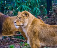 Closeup of the upper body of a lioness, popular zoo animal from the savanna of Africa, Vulnerable animal specie. A closeup of the upper body of a lioness royalty free stock images