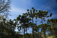 Closeup of upper part of Araucaria angustifolia ( Brazilian pine. ) with sky and clouds background Royalty Free Stock Images
