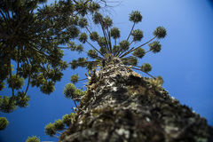Closeup of upper part of Araucaria angustifolia ( Brazilian pine Royalty Free Stock Photo