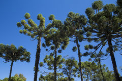 Closeup of upper part of Araucaria angustifolia ( Brazilian pine Royalty Free Stock Photography