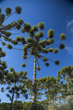 Closeup of upper part of Araucaria angustifolia ( Brazilian pine Royalty Free Stock Image